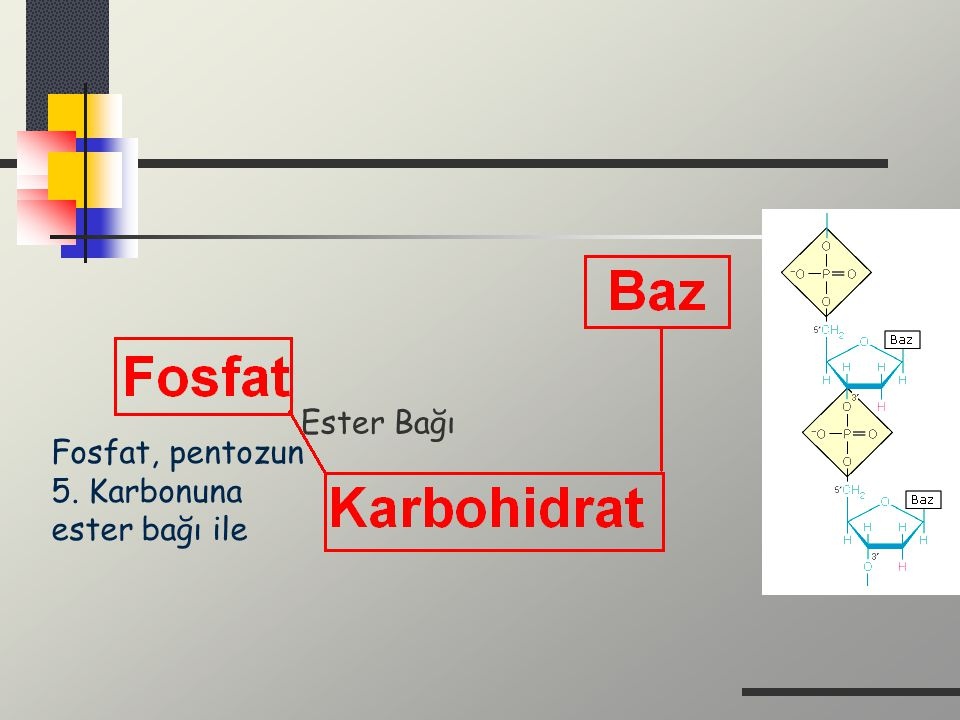 Ester Bağı Fosfat, pentozun 5. Karbonuna ester bağı ile