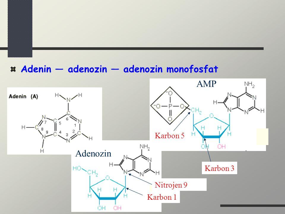 Adenin — adenozin — adenozin monofosfat
