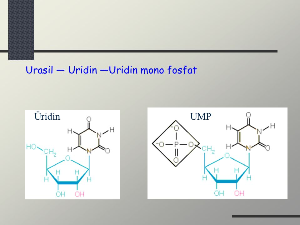 Urasil — Uridin —Uridin mono fosfat