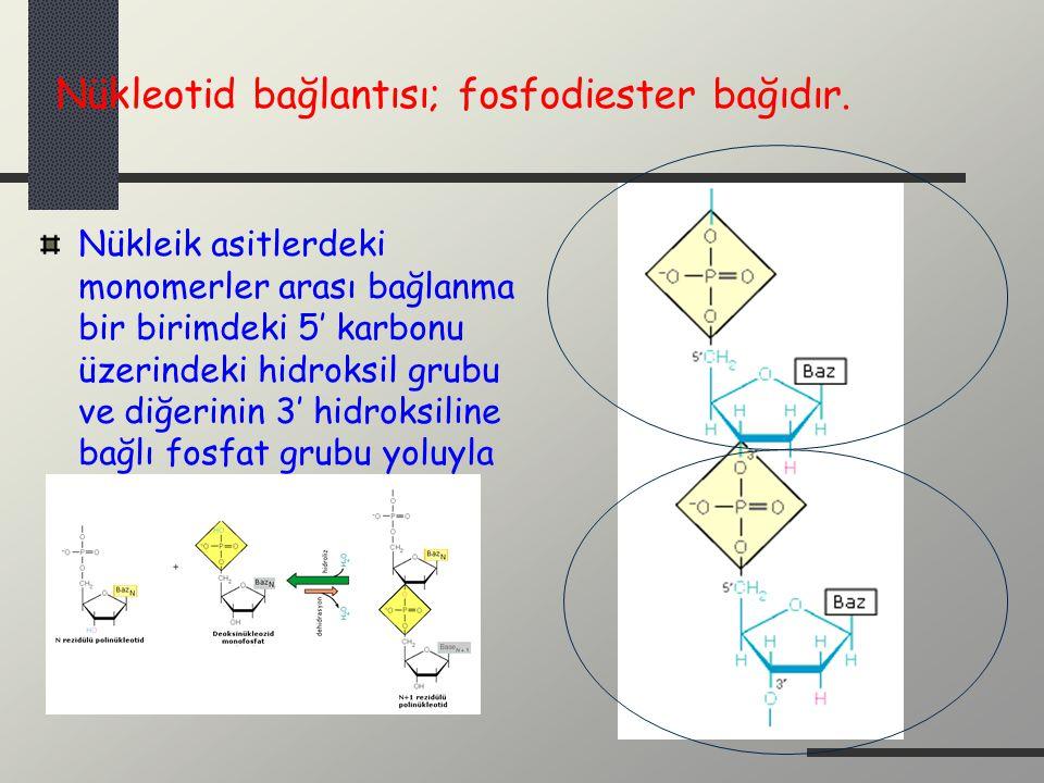 Nükleotid bağlantısı; fosfodiester bağıdır.