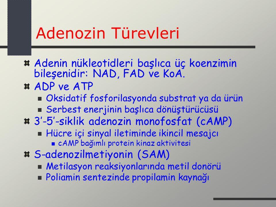 Adenozin Türevleri Adenin nükleotidleri başlıca üç koenzimin bileşenidir: NAD, FAD ve KoA. ADP ve ATP.