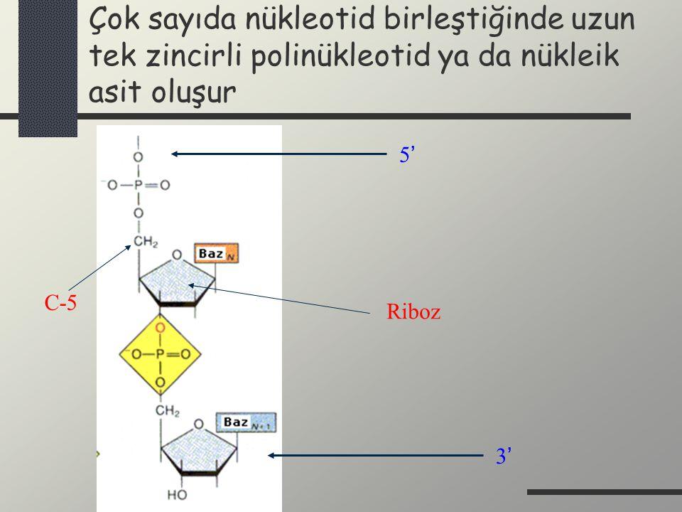 Çok sayıda nükleotid birleştiğinde uzun tek zincirli polinükleotid ya da nükleik asit oluşur