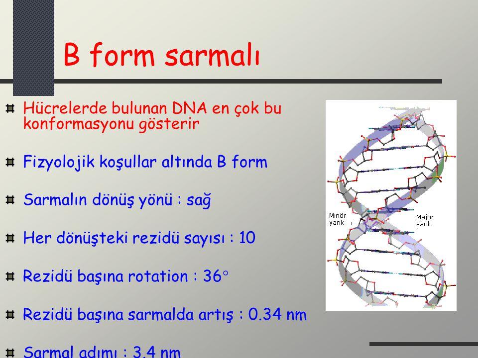 B form sarmalı Hücrelerde bulunan DNA en çok bu konformasyonu gösterir