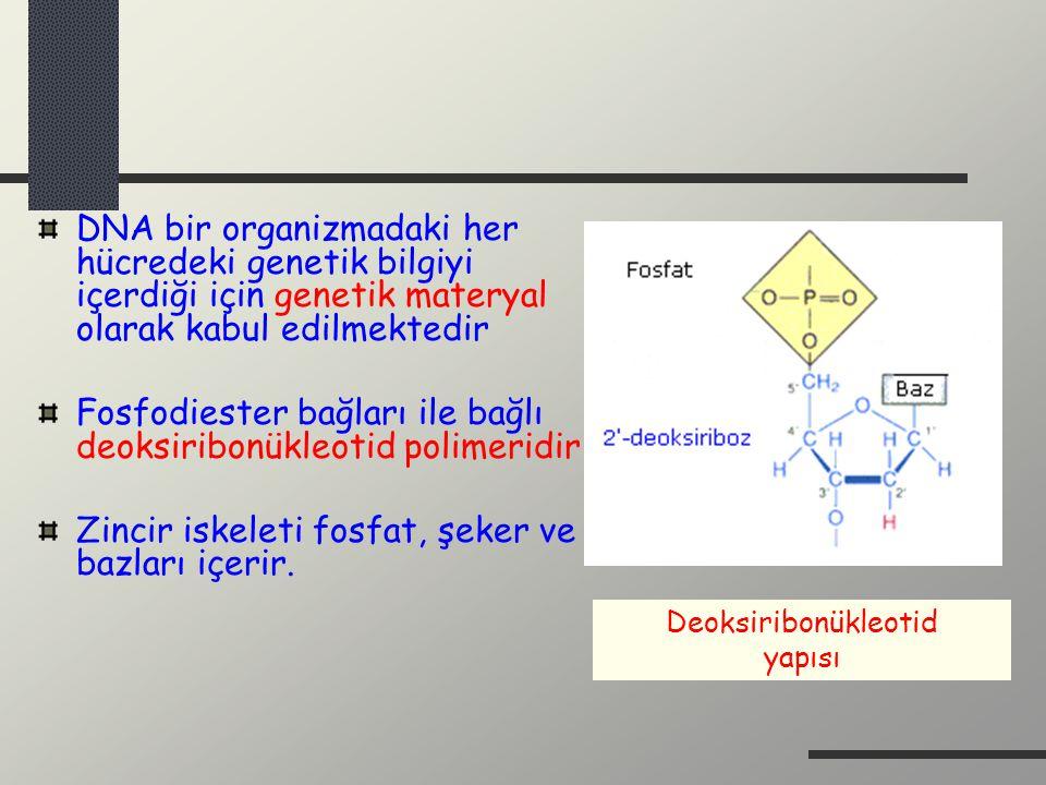 Fosfodiester bağları ile bağlı deoksiribonükleotid polimeridir