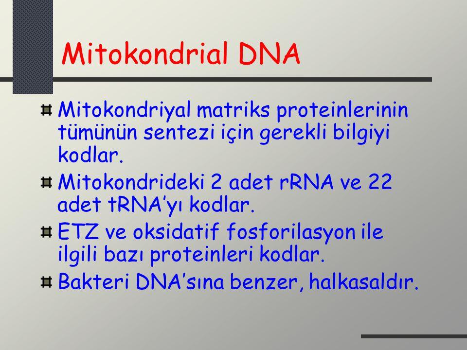 Mitokondrial DNA Mitokondriyal matriks proteinlerinin tümünün sentezi için gerekli bilgiyi kodlar.