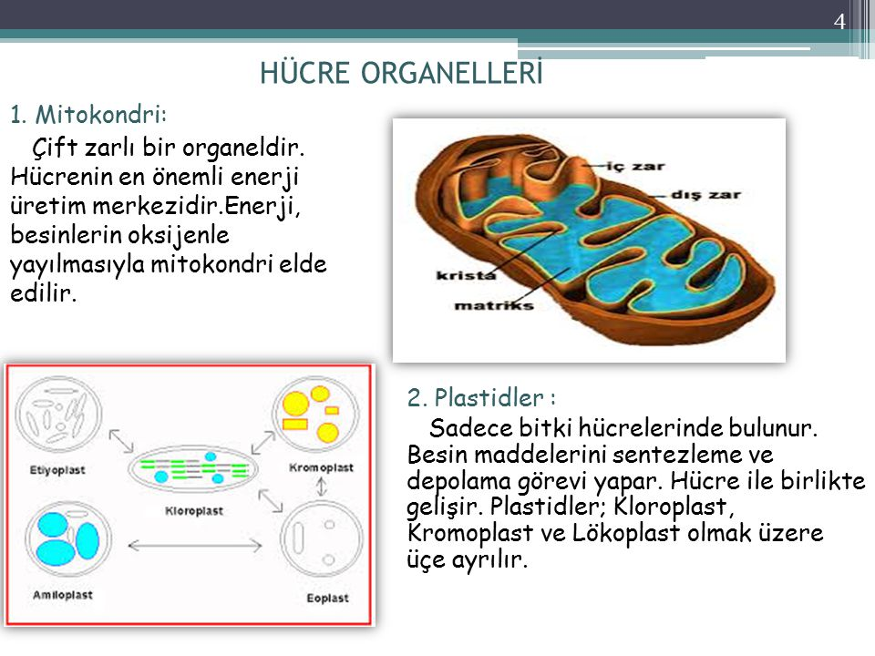 HÜCRE ORGANELLERİ 1. Mitokondri: