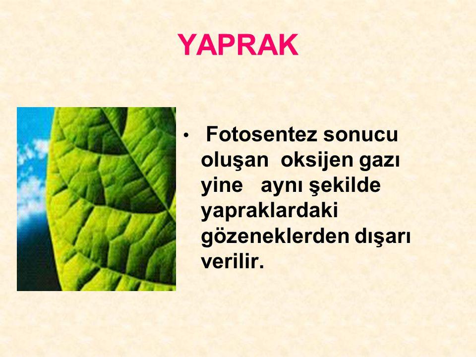 YAPRAK Fotosentez sonucu oluşan oksijen gazı yine aynı şekilde yapraklardaki gözeneklerden dışarı verilir.