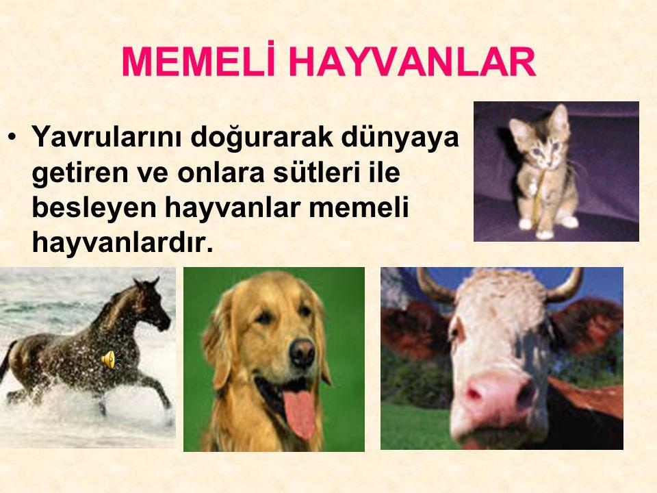 MEMELİ HAYVANLAR Yavrularını doğurarak dünyaya getiren ve onlara sütleri ile besleyen hayvanlar memeli hayvanlardır.