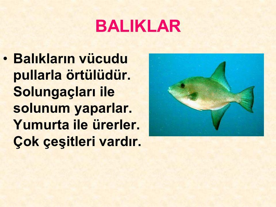 BALIKLAR Balıkların vücudu pullarla örtülüdür. Solungaçları ile solunum yaparlar.