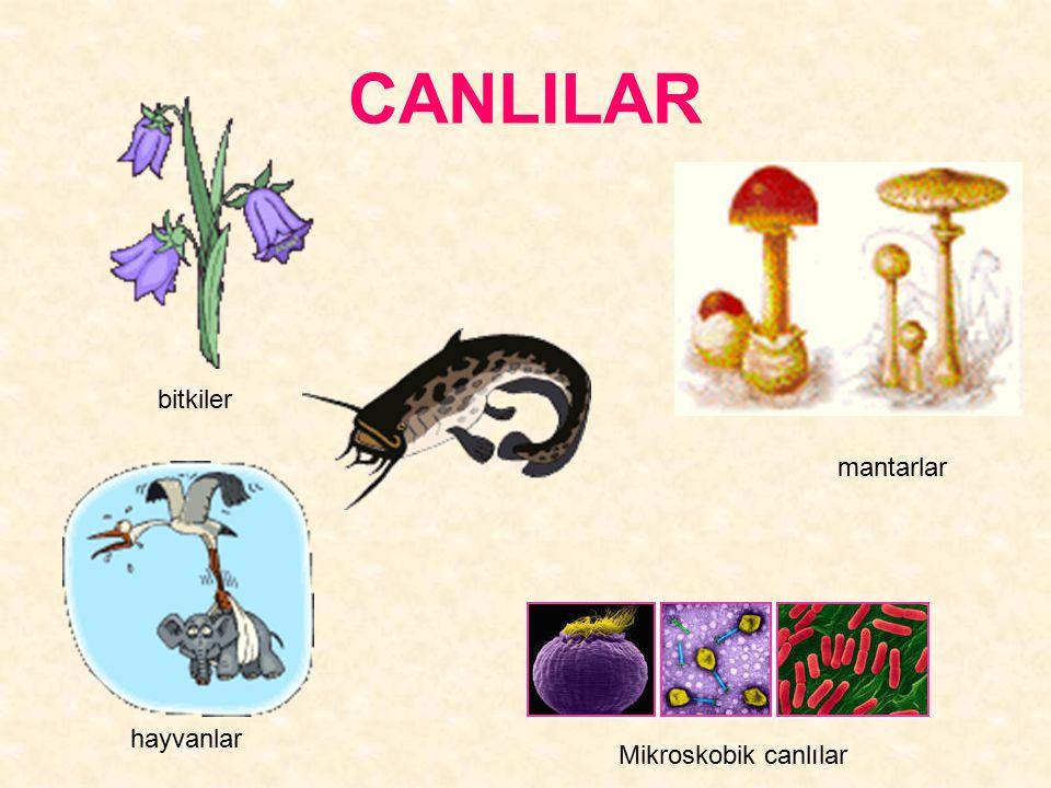 CANLILAR bitkiler mantarlar hayvanlar Mikroskobik canlılar