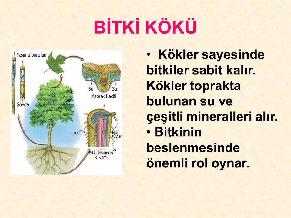 BİTKİ KÖKÜ Kökler sayesinde bitkiler sabit kalır. Kökler toprakta bulunan su ve. çeşitli mineralleri alır.
