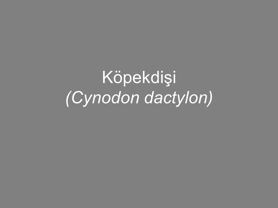 Köpekdişi (Cynodon dactylon)