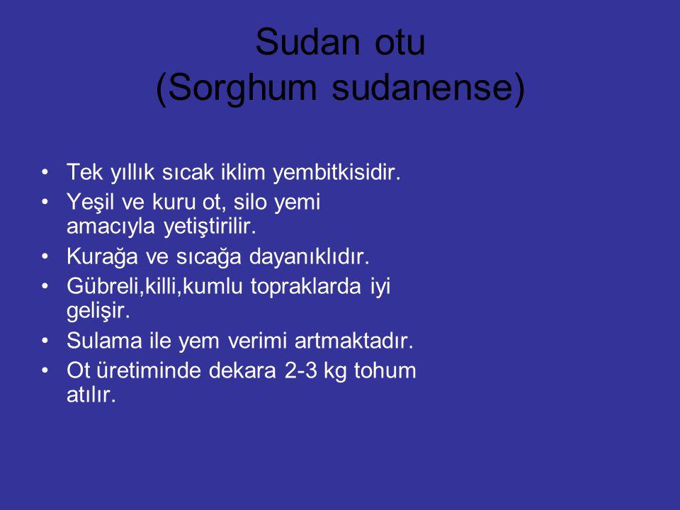 Sudan otu (Sorghum sudanense)