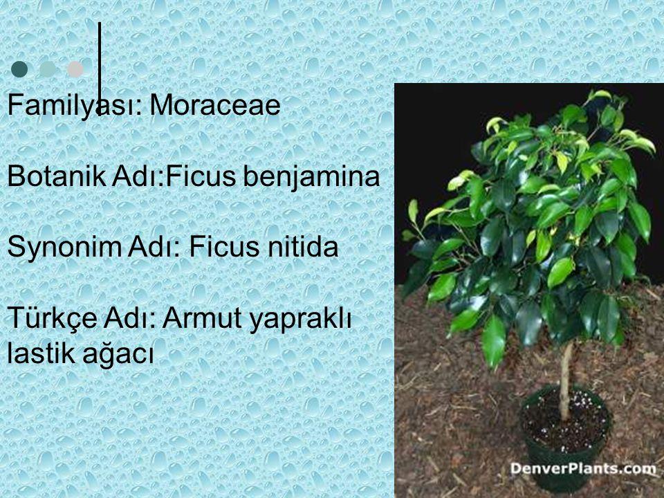Familyası: Moraceae Botanik Adı:Ficus benjamina. Synonim Adı: Ficus nitida.