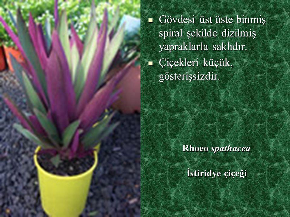 Gövdesi üst üste binmiş spiral şekilde dizilmiş yapraklarla saklıdır.