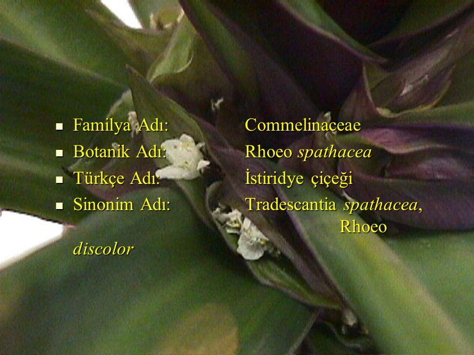 Familya Adı: Commelinaceae