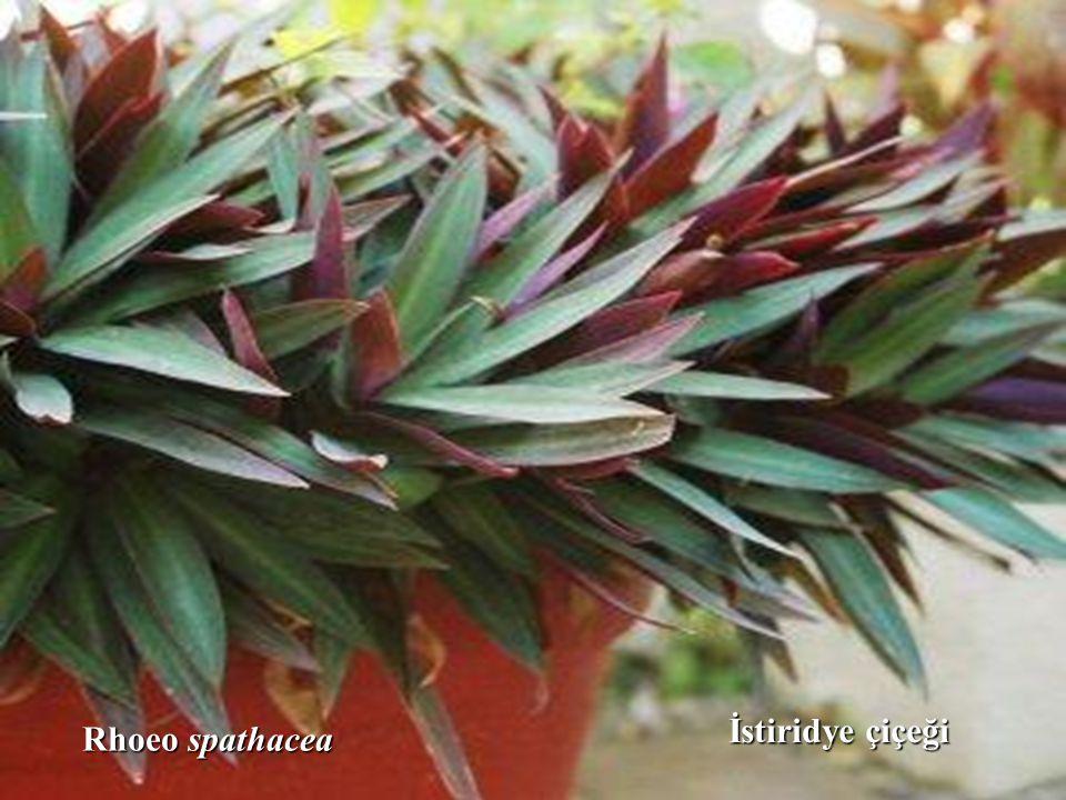 İstiridye çiçeği Rhoeo spathacea