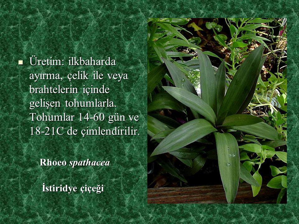 Üretim: ilkbaharda ayırma, çelik ile veya brahtelerin içinde gelişen tohumlarla. Tohumlar 14-60 gün ve 18-21C de çimlendirilir.