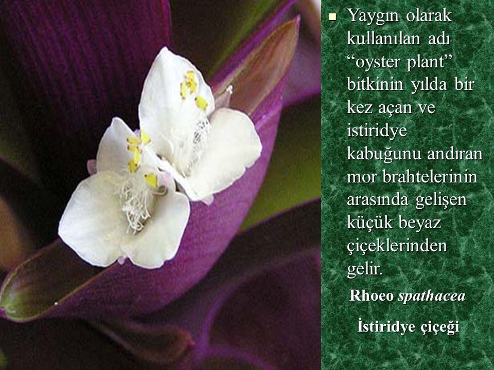 Yaygın olarak kullanılan adı oyster plant bitkinin yılda bir kez açan ve istiridye kabuğunu andıran mor brahtelerinin arasında gelişen küçük beyaz çiçeklerinden gelir.