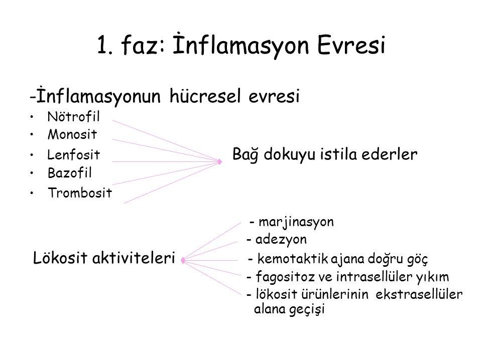 1. faz: İnflamasyon Evresi