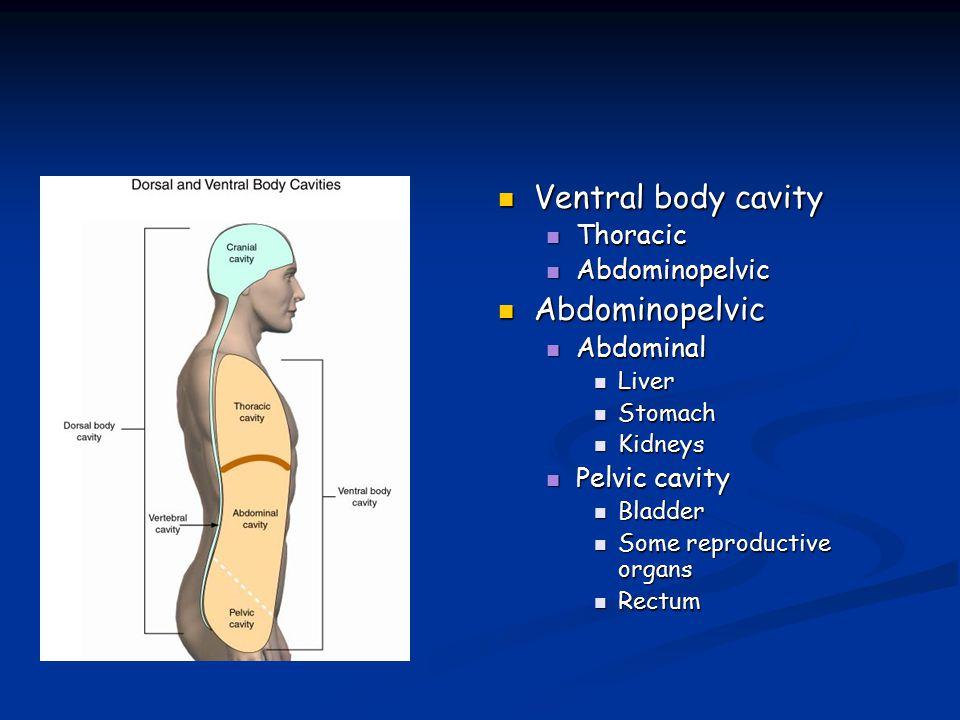 Ventral body cavity Thoracic Abdominopelvic Abdominal Pelvic cavity