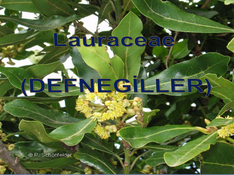 Lauraceae (DEFNEGİLLER)