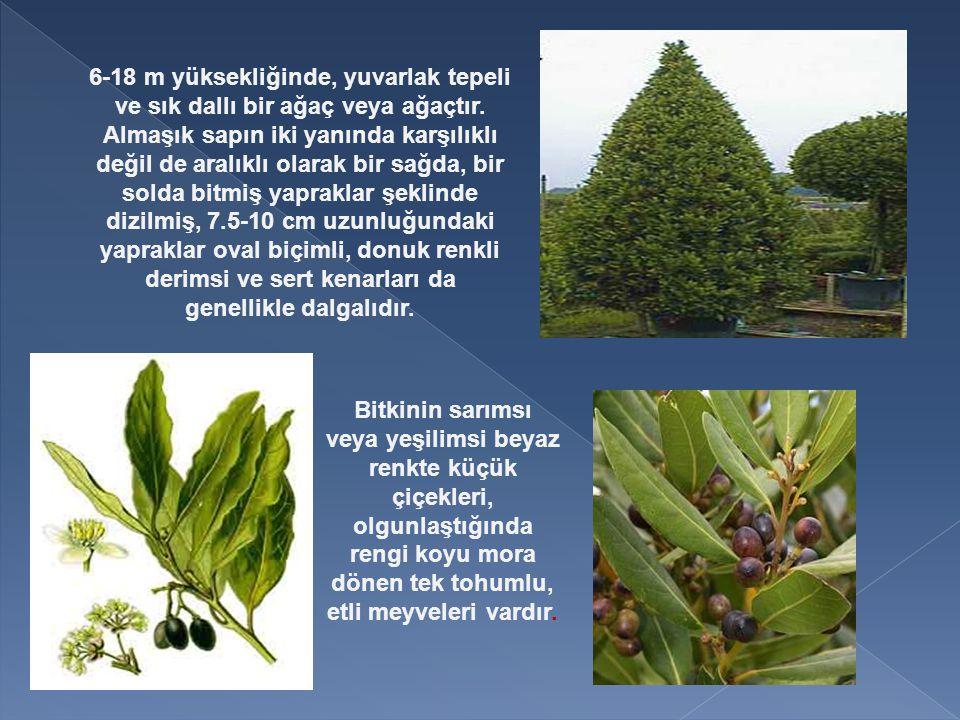 6-18 m yüksekliğinde, yuvarlak tepeli ve sık dallı bir ağaç veya ağaçtır. Almaşık sapın iki yanında karşılıklı değil de aralıklı olarak bir sağda, bir solda bitmiş yapraklar şeklinde dizilmiş, 7.5-10 cm uzunluğundaki yapraklar oval biçimli, donuk renkli derimsi ve sert kenarları da genellikle dalgalıdır.