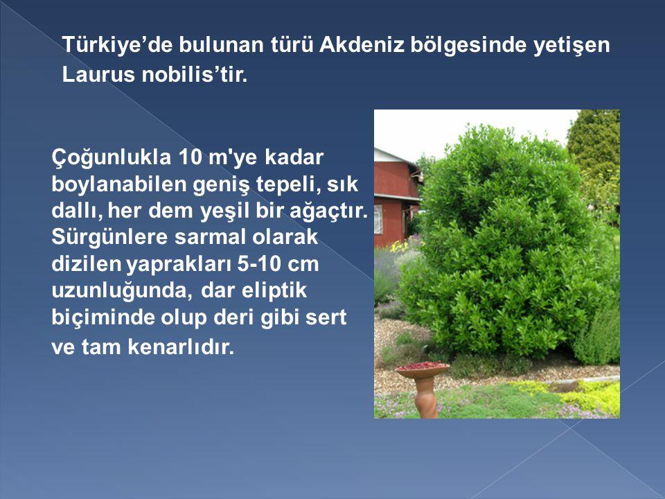 Türkiye'de bulunan türü Akdeniz bölgesinde yetişen Laurus nobilis'tir.