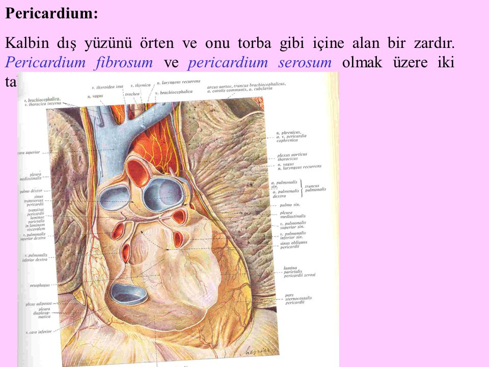 Pericardium: