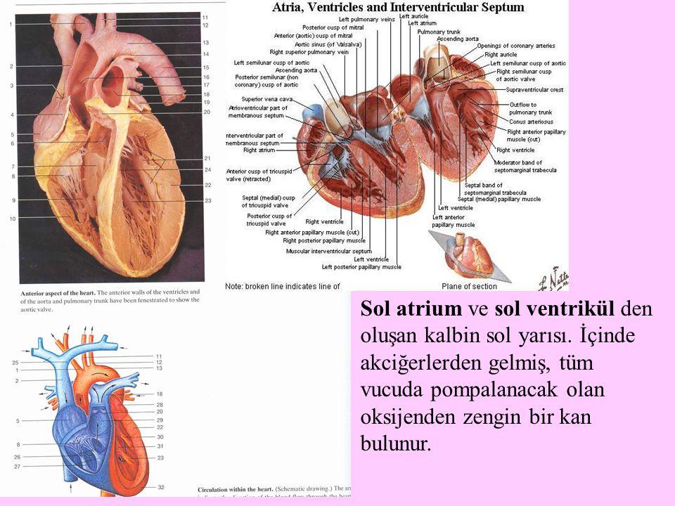 Sol atrium ve sol ventrikül den oluşan kalbin sol yarısı