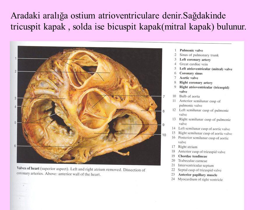 Aradaki aralığa ostium atrioventriculare denir