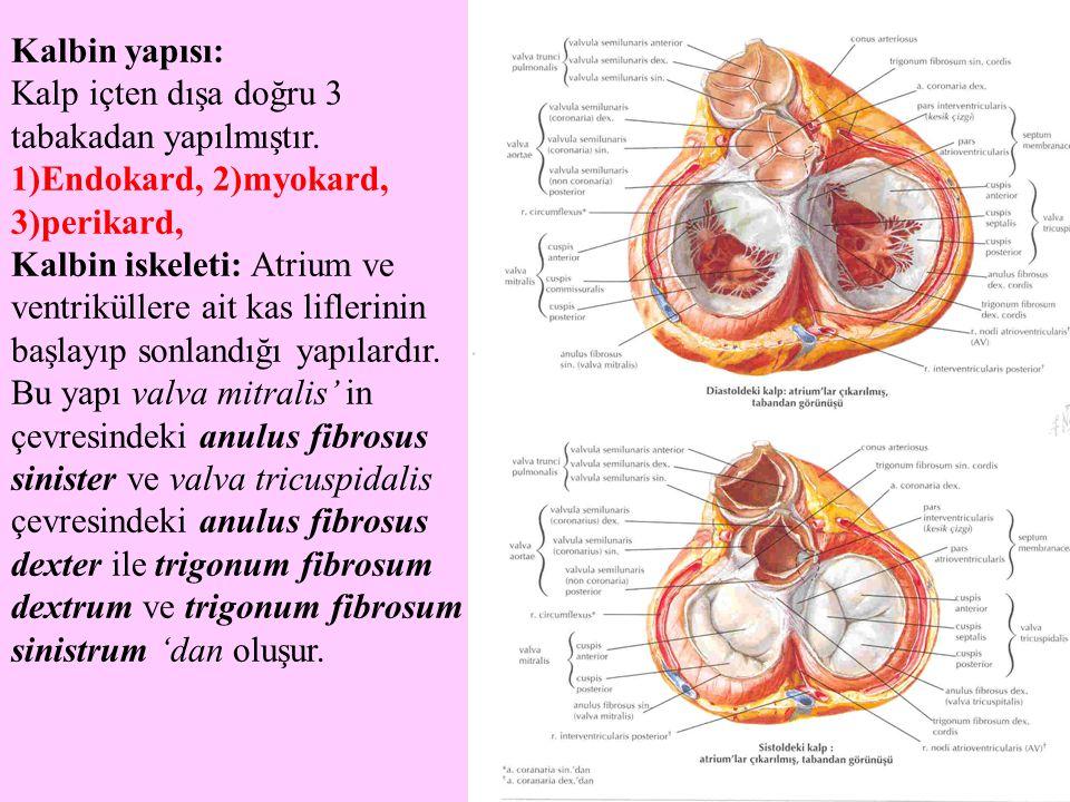 Kalbin yapısı: Kalp içten dışa doğru 3 tabakadan yapılmıştır. 1)Endokard, 2)myokard, 3)perikard,
