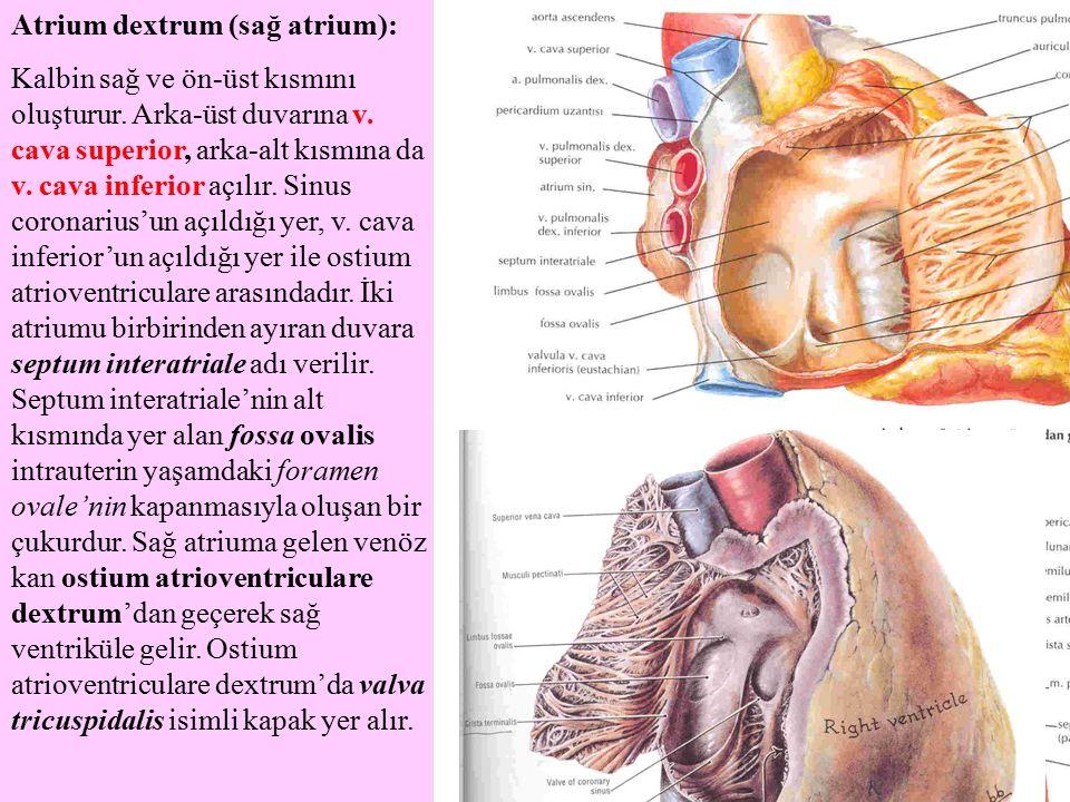 Atrium dextrum (sağ atrium):