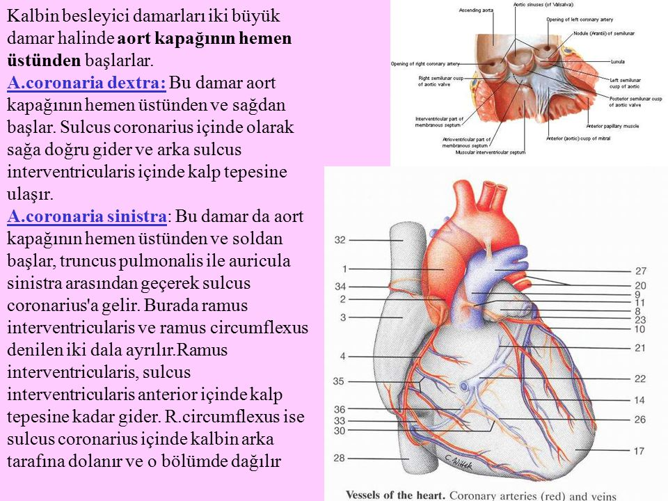 Kalbin besleyici damarları iki büyük damar halinde aort kapağının hemen üstünden başlarlar.