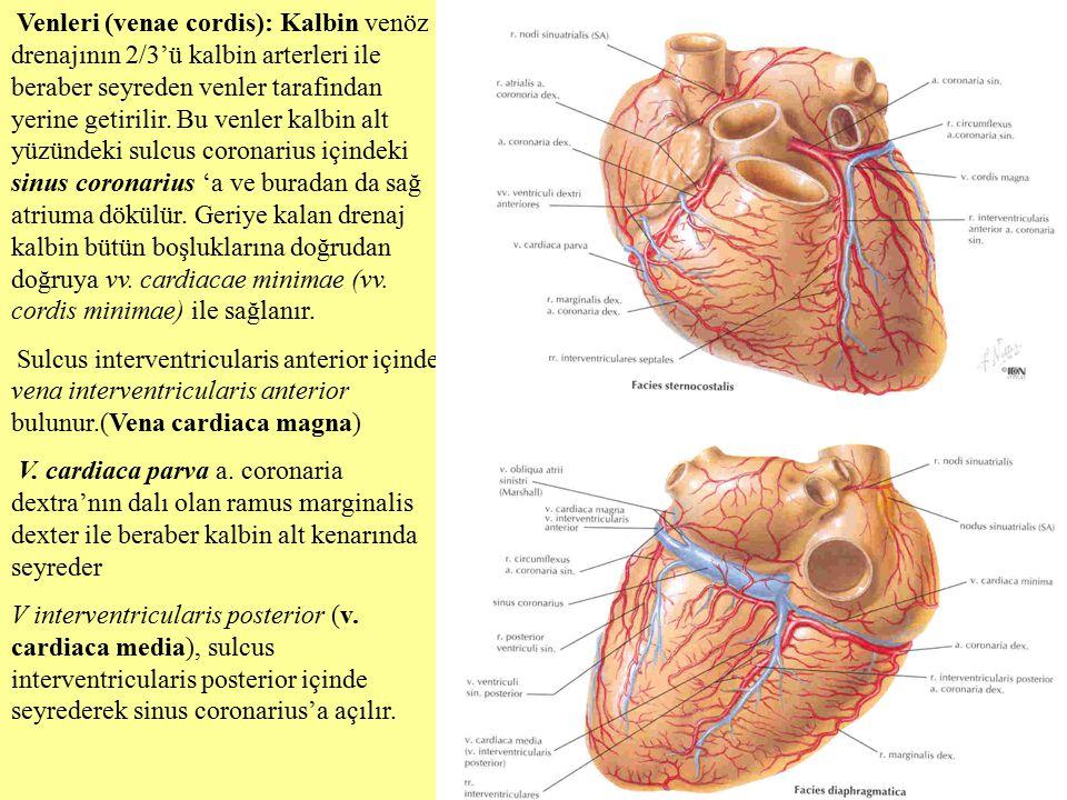 Venleri (venae cordis): Kalbin venöz drenajının 2/3'ü kalbin arterleri ile beraber seyreden venler tarafindan yerine getirilir. Bu venler kalbin alt yüzündeki sulcus coronarius içindeki sinus coronarius 'a ve buradan da sağ atriuma dökülür. Geriye kalan drenaj kalbin bütün boşluklarına doğrudan doğruya vv. cardiacae minimae (vv. cordis minimae) ile sağlanır.