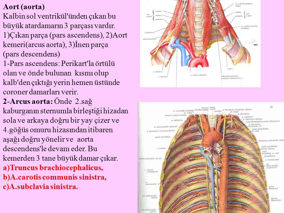 Aort (aorta) Kalbin sol ventrikül ünden çıkan bu büyük atardamarın 3 parçası vardır.