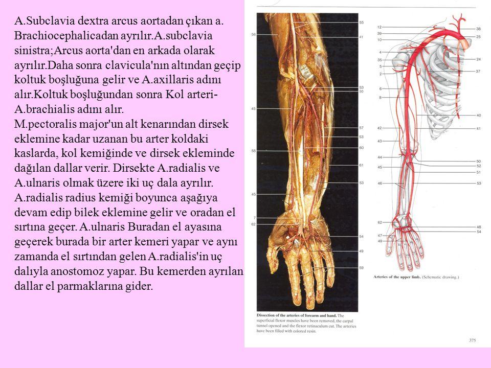 A.Subclavia dextra arcus aortadan çıkan a. Brachiocephalicadan ayrılır.A.subclavia sinistra;Arcus aorta dan en arkada olarak ayrılır.Daha sonra clavicula nın altından geçip koltuk boşluğuna gelir ve A.axillaris adını alır.Koltuk boşluğundan sonra Kol arteri-A.brachialis adını alır.