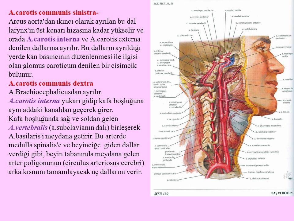 A.carotis communis sinistra-