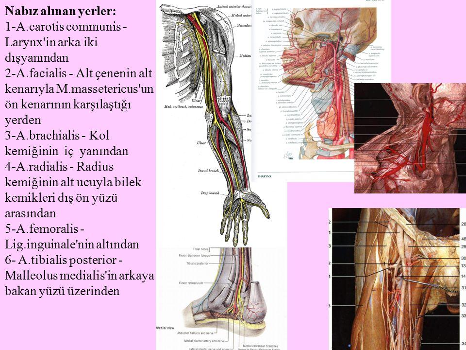 Nabız alınan yerler: 1-A.carotis communis - Larynx in arka iki dışyanından.