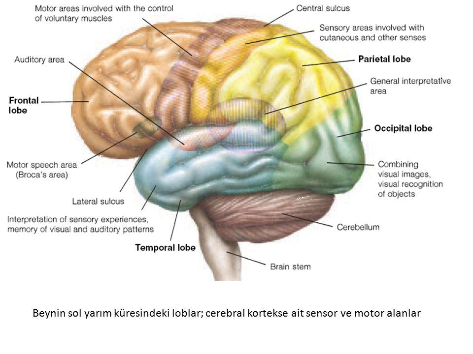 Beynin sol yarım küresindeki loblar; cerebral kortekse ait sensor ve motor alanlar