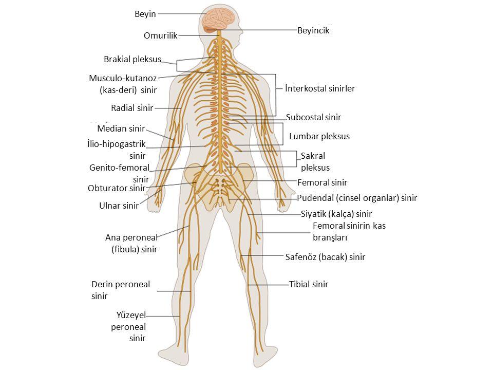 Omurilik Beyin. Beyincik. İnterkostal sinirler. Radial sinir. Brakial pleksus. Median sinir. Subcostal sinir.