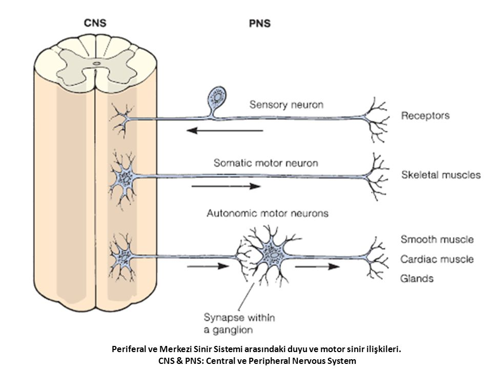 CNS & PNS: Central ve Peripheral Nervous System
