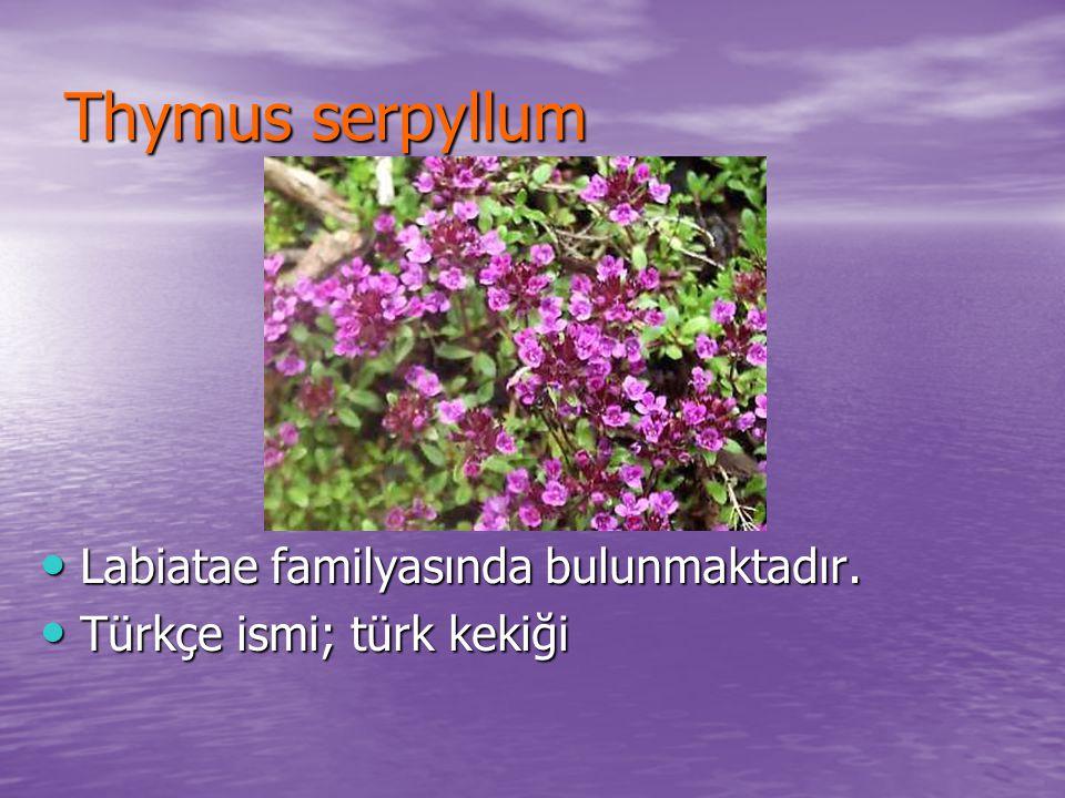 Thymus serpyllum Labiatae familyasında bulunmaktadır.