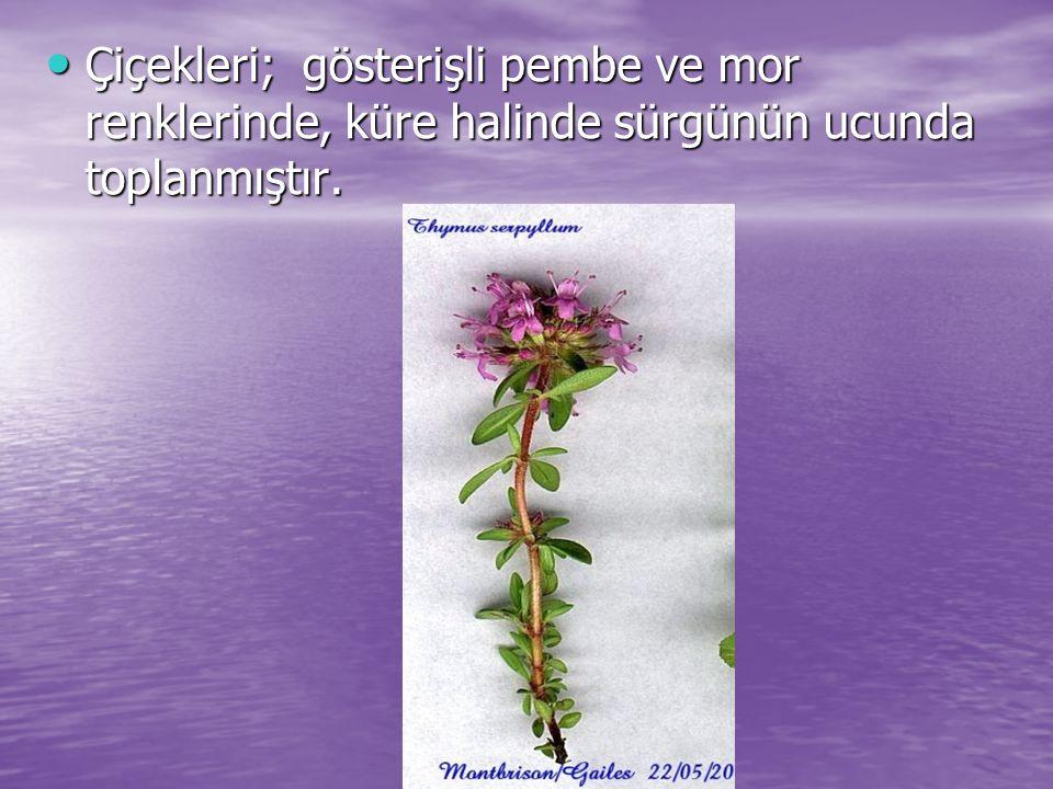 Çiçekleri; gösterişli pembe ve mor renklerinde, küre halinde sürgünün ucunda toplanmıştır.