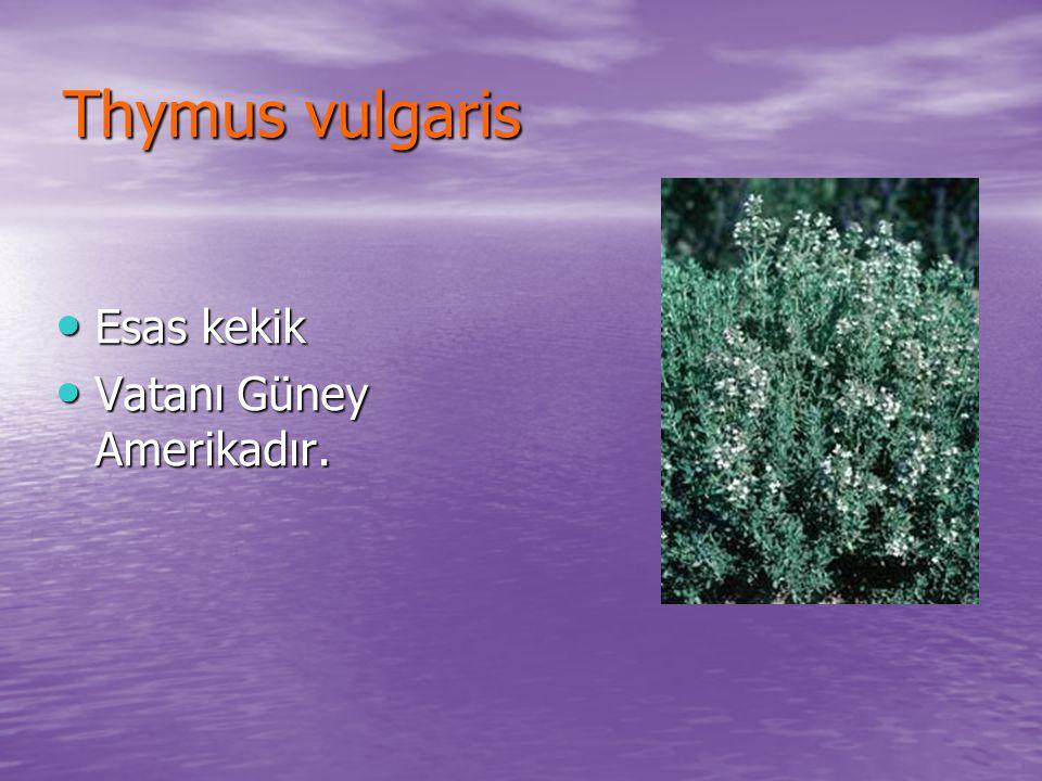 Thymus vulgaris Esas kekik Vatanı Güney Amerikadır.