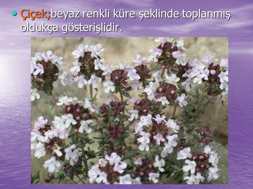 Çiçek;beyaz renkli küre şeklinde toplanmış oldukça gösterişlidir.