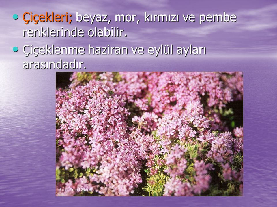 Çiçekleri; beyaz, mor, kırmızı ve pembe renklerinde olabilir.