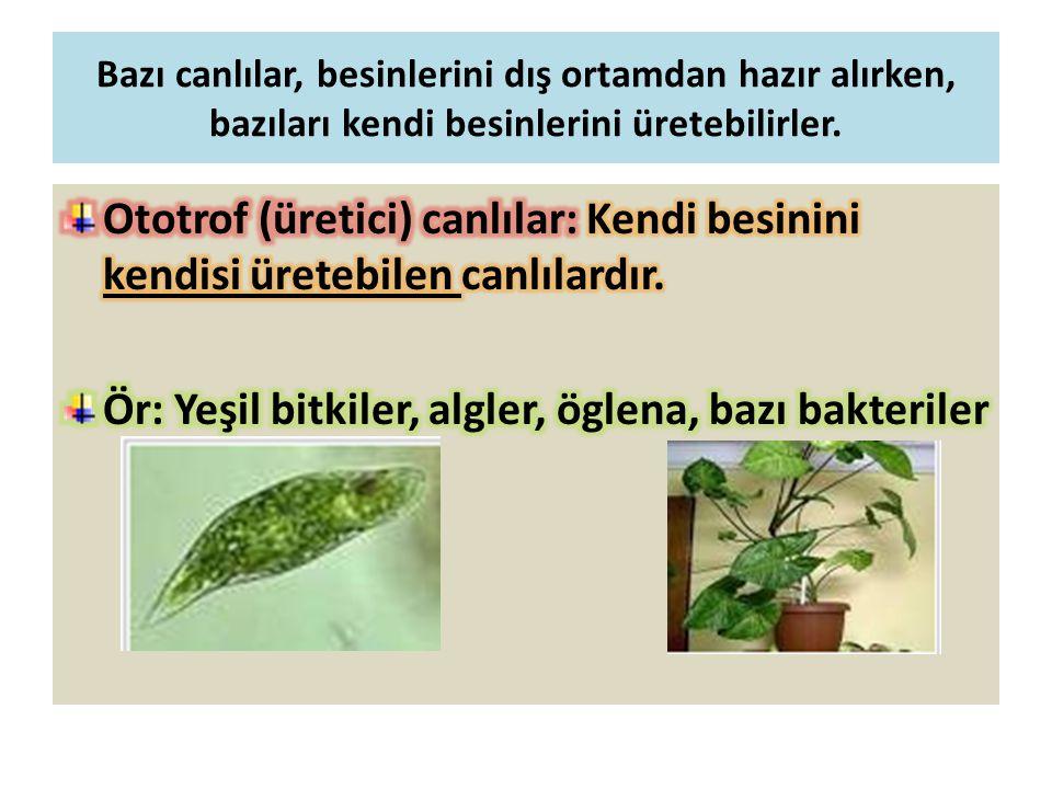 Ör: Yeşil bitkiler, algler, öglena, bazı bakteriler