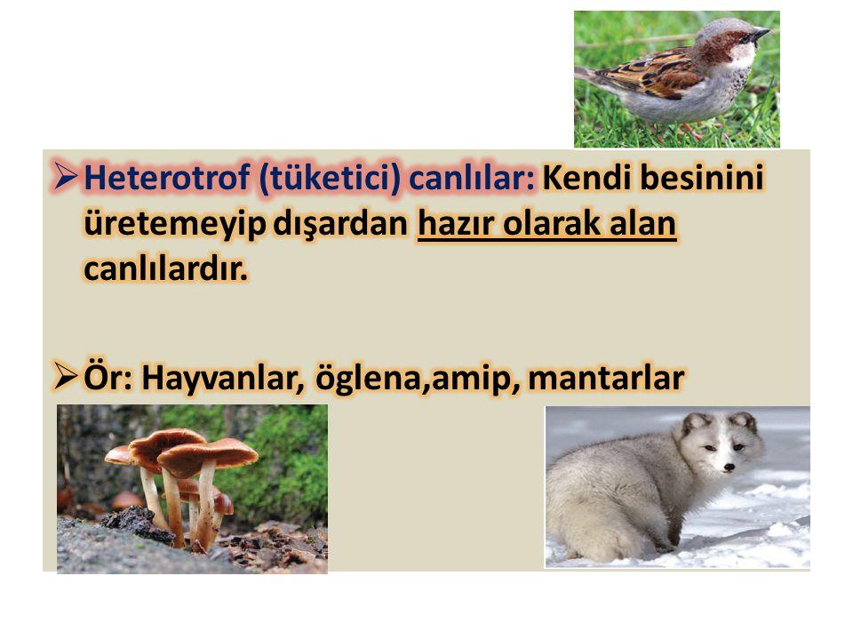 Heterotrof (tüketici) canlılar: Kendi besinini üretemeyip dışardan hazır olarak alan canlılardır.