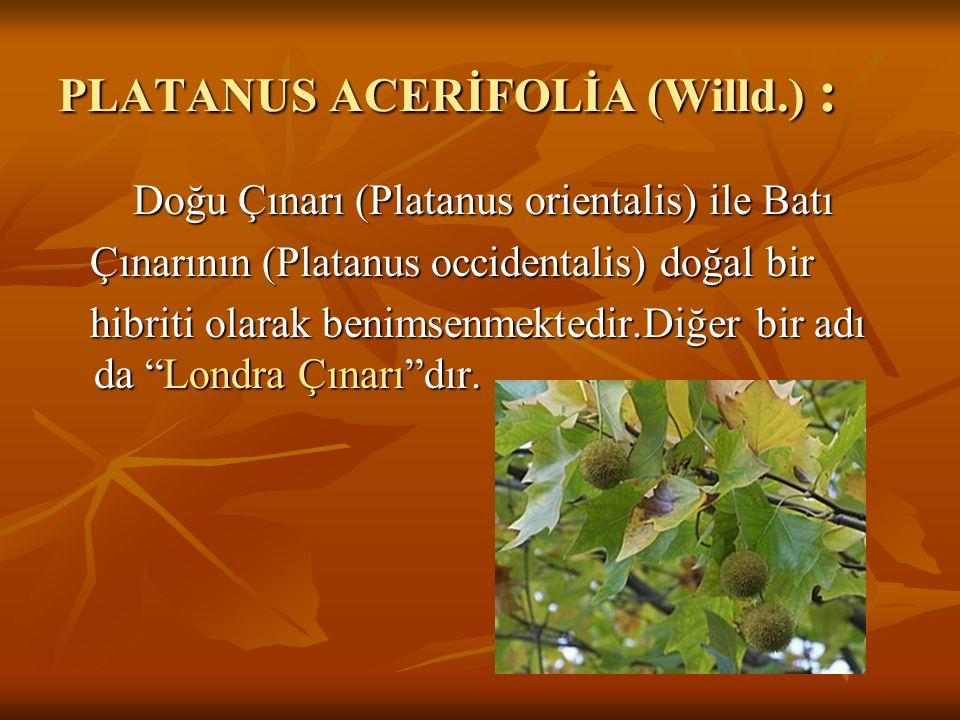 PLATANUS ACERİFOLİA (Willd.) :